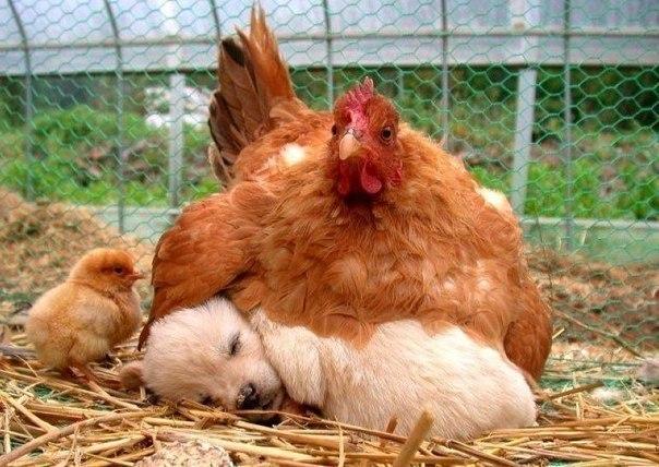 курица высиживает щенка