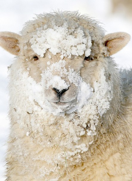 Овечка в снегу